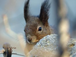 Squirrel 86 by Cundrie-la-Surziere