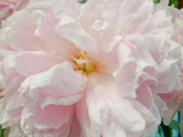 Peonies Stock 13 by Retoucher07030