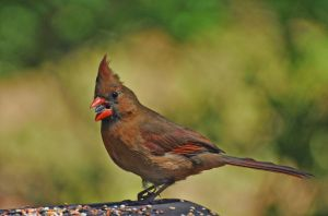 Female Cardinal 4-12-12 by Tailgun2009