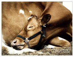 Cow Sleeping by Karl-B