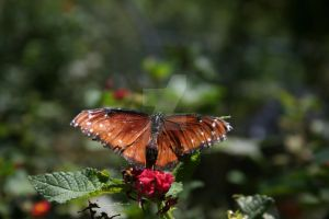 Butterfly 4 by TASmith