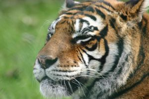 Tigress closeup by Havoc-elite