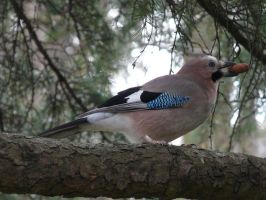 The jay by Clawfiren