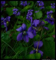 violets by coherence