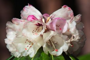 Rhododendron Closeup by secondclaw
