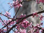 Redbud Blossoms by Dart-Frog