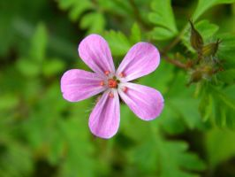Pink Forget Me Not. by FlashOfGrey