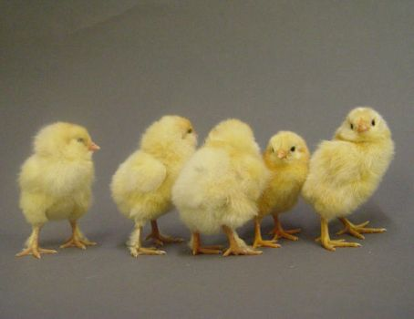 Fluffy chick stock 4- by InKi-Stock