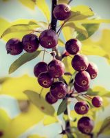 Berry Tree by Thors-Hammer77
