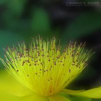 Yellow Flower 3 by KSMPhotography