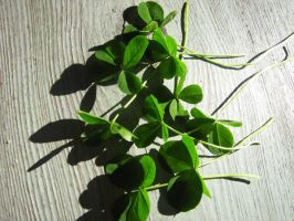 4-and 5-leaved clovers II by vonderwall