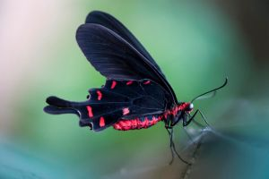 The Common Rose Swallowtail by Glenn0o7