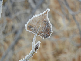 Frost Covered Cottonwood Leaf by LifeIsToBeHappy
