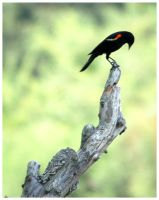 red winged black bird by Coop81