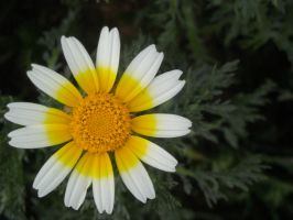 You my little daisy. by Irialis