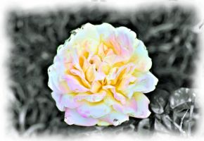Select color Peace Rose 2015-05-28 15.28.23 Painti by ChrishelSr
