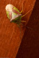Stink Bug by GMCollins