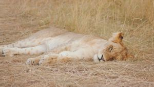 lazy lion by tonepiia