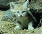 Baby sand cat by woxys