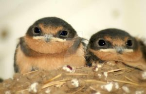 Baby Barn Swallows by houstonryan