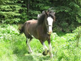 Clydesdale 16 by solarka-stock