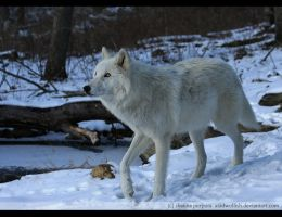 Arctic Atka by causticxace