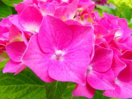 Hortensia by THEsimplePLEASURES