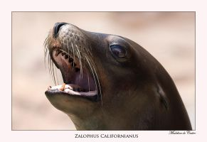 Zalophus californianus by livinginoblivion