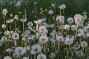 Sea of Dandelions by Freckles4815162342