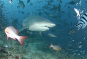 More Bull Shark by ITacosharkI