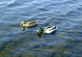 Swimming duck. by ASFmaggot