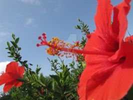 Red Hibiscus by Maltese-Naturalist