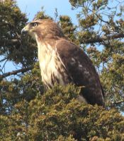 Red tailed hawk by Laur720