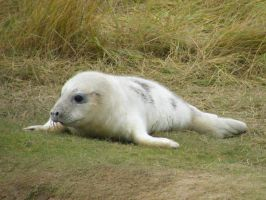 Donna Nook Seal 4 by Queenselphie