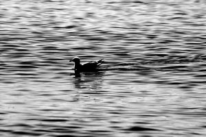 Seagull in the Water by XxQuothTheRavenxX