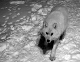 Arctic Wolf by Acadien11