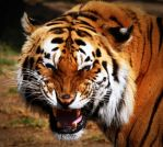 Bengal Tiger by TeFoPhotography