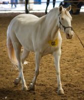 STOCK - 2014 Andalusian Nationals-183 by fillyrox