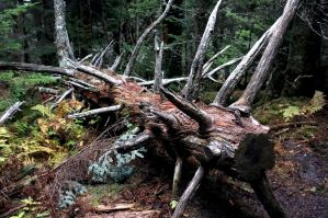 Fallen Tree by rdswords
