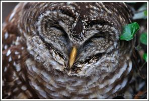 barred owl blues by photom17