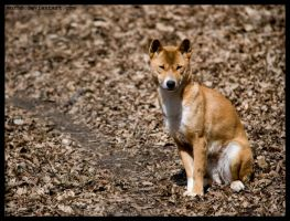 new guinea singing dog by morho
