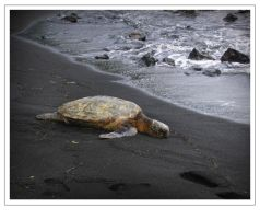 Hawaii Sea Turtle by tabsquared