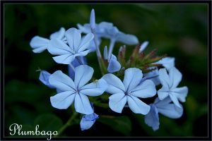 Blue Plumbago by Firey-Sunset