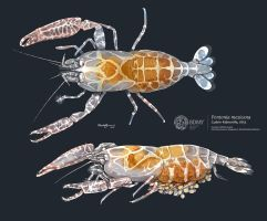 Caribbean Pen Shrimp by albertoguerra