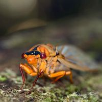 Golden Cicada by FireflyPhotosAust