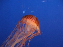 Japanese Sea Nettle by wolfwings1