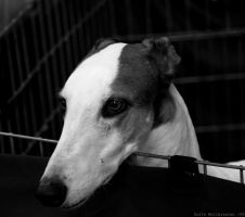 Greyhound by wollers