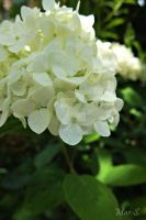 White Hydrangea by suckerPunch5670