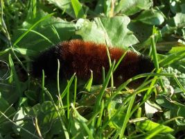 Woolly Bear by AppleBlossomGirl