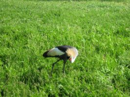 African Crowned Crane02 by Fireborn46